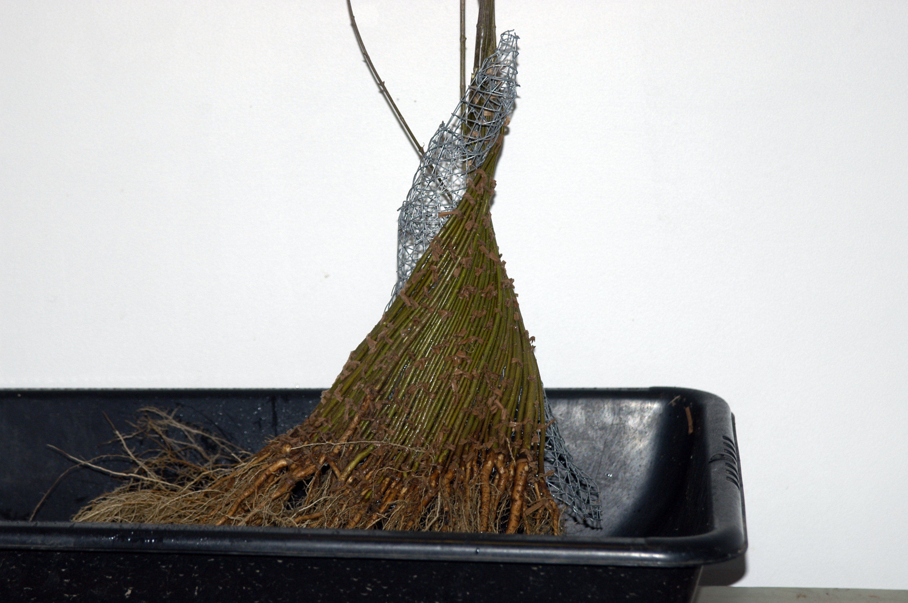 how to tell if youve got a good bonsai tree