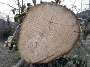 Fused_ashtrees_-_Auró