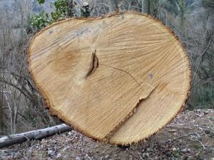 Fused_chestnut_trees_-_2_-_Auró
