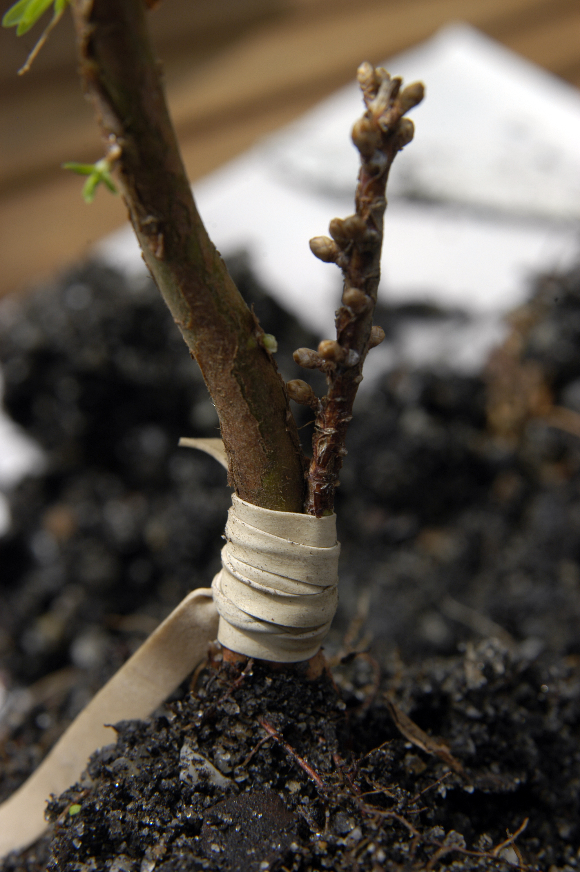 Cambium Layer Grafting http://fusionbonsai.com/tag/fusion-bonsai-2/
