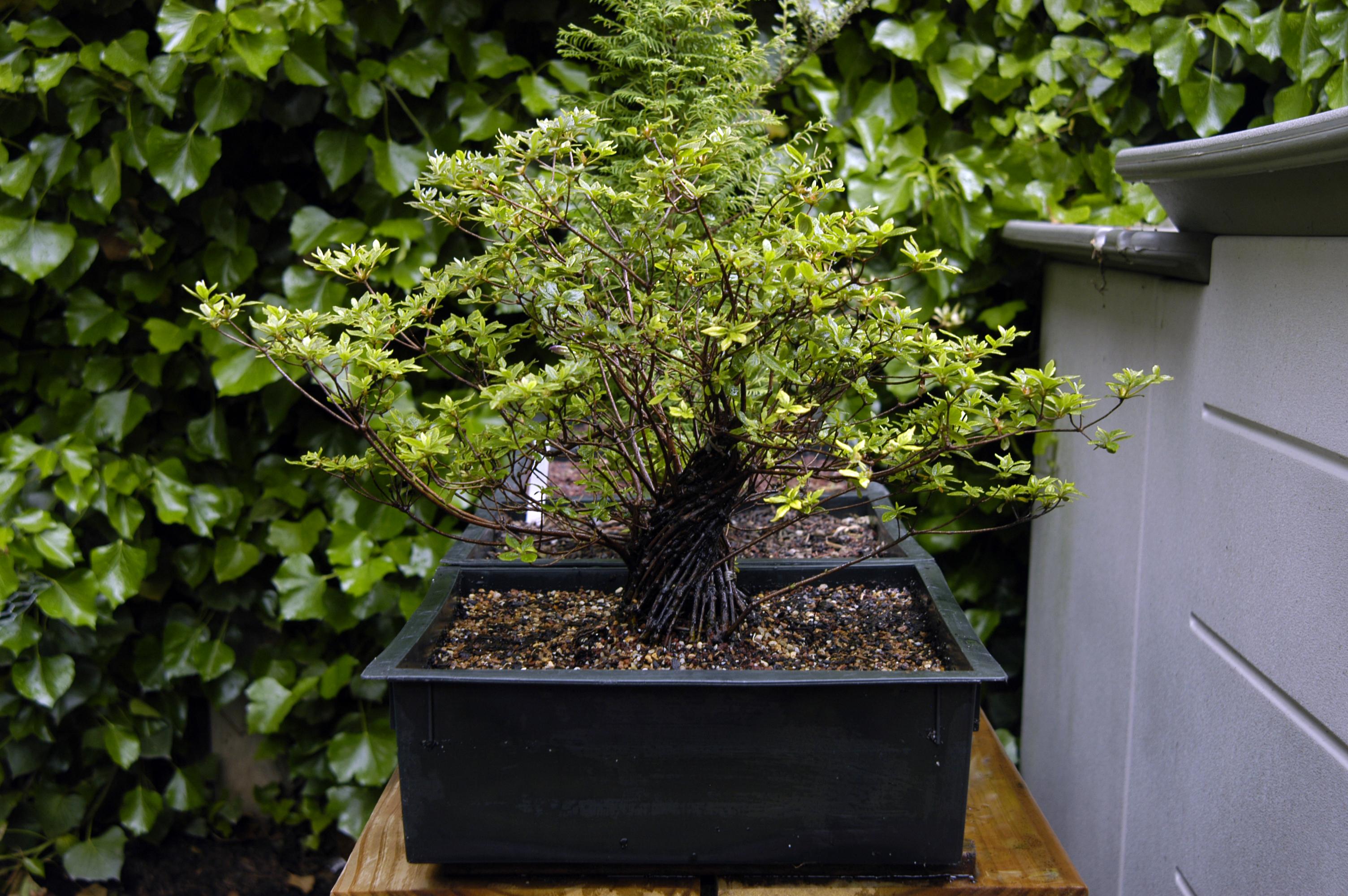 mangetsu azalea fusion fusion bonsai