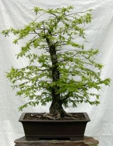 Bald Cypress1