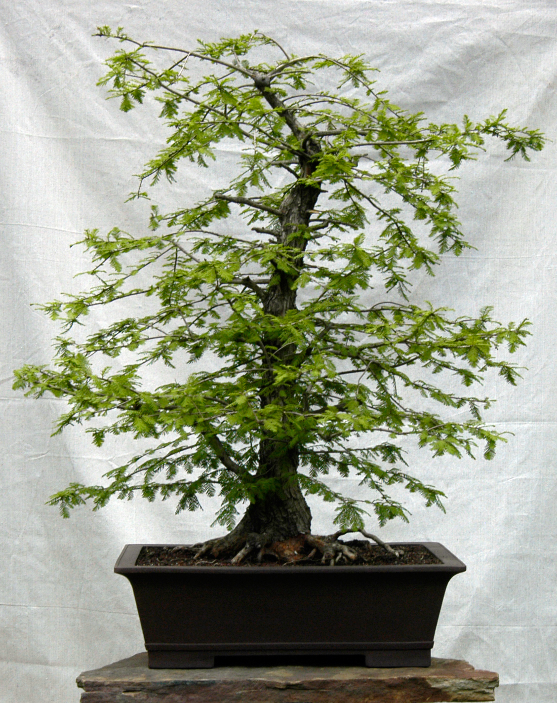the gallery for european cypress bonsai. Black Bedroom Furniture Sets. Home Design Ideas