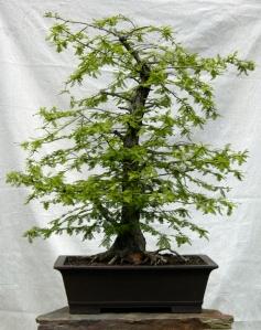 Bald Cypress2
