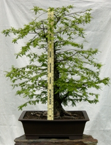 Bald Cypress4