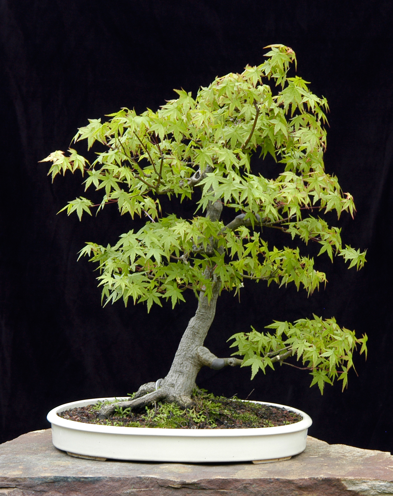 Grafted kishu shimpaku by mas ishii chikugo en bonsai for Maple trees for sale