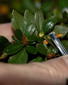 mangetsu flower buds 3