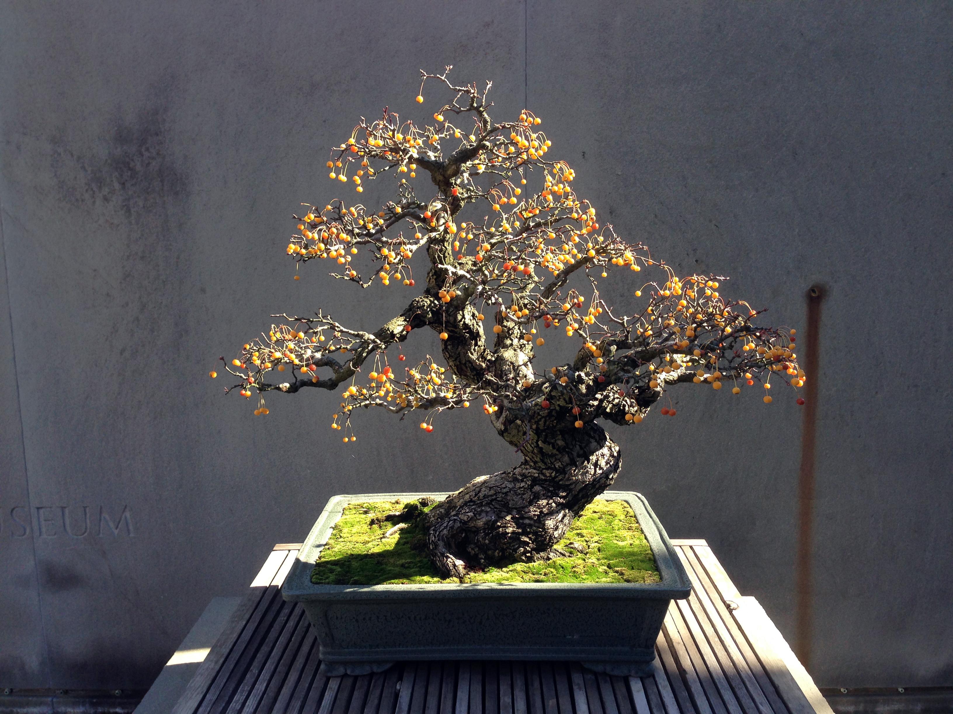 Autumn Bonsai Colors Fusion Bonsai