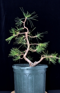 Black pine 2