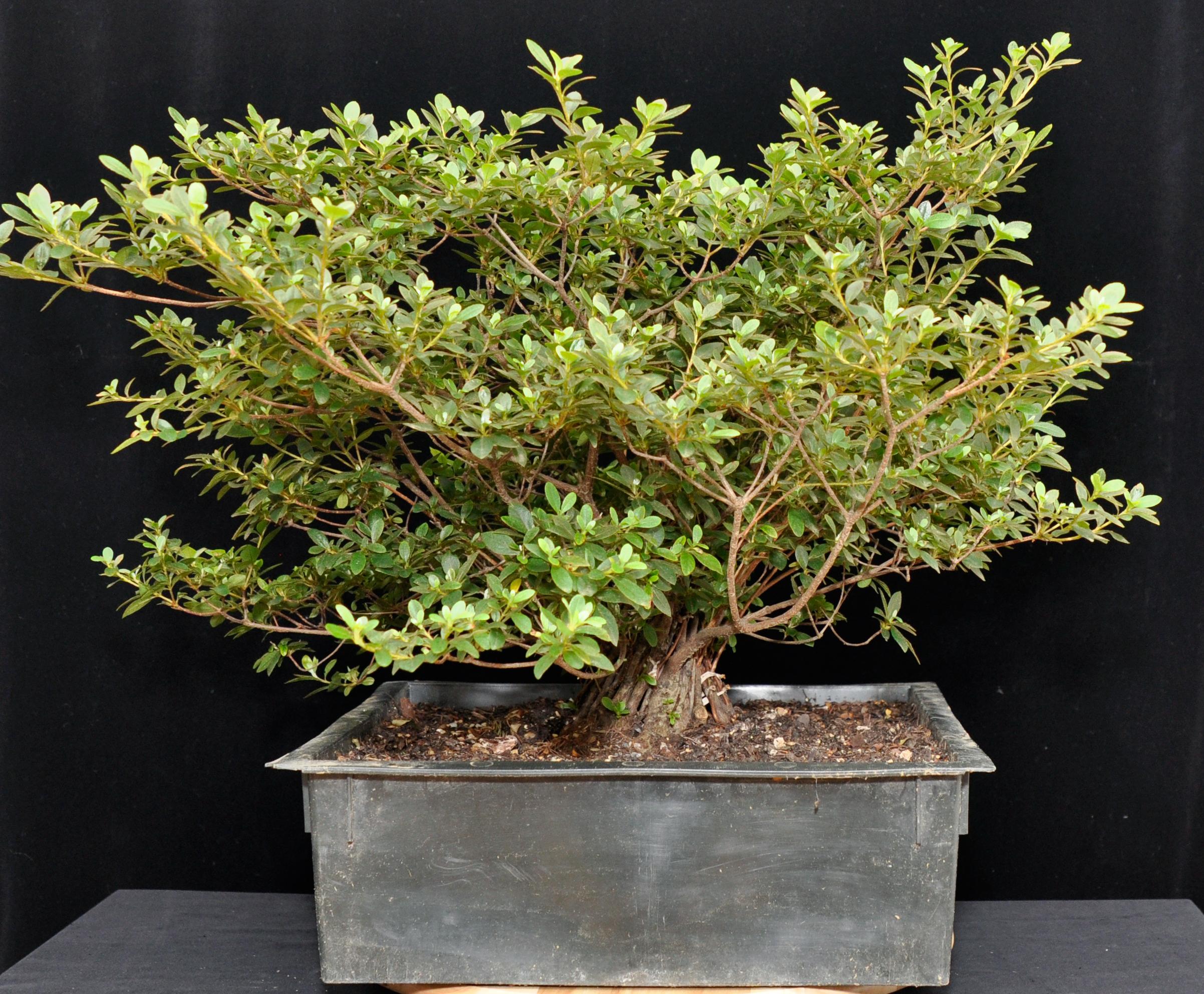 Mangetsu azalea fusion fusion bonsai for Azalea bonsai
